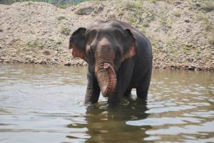 Bathing elephants